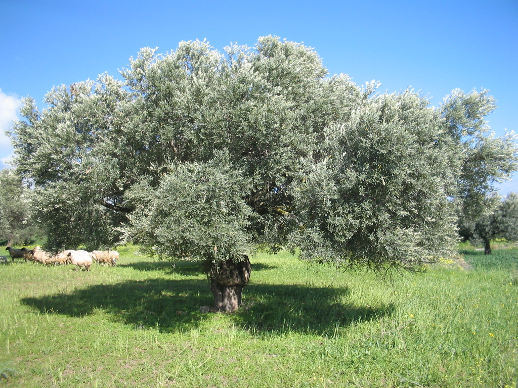 argolis-olivetree