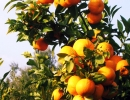 argolis-orangetrees