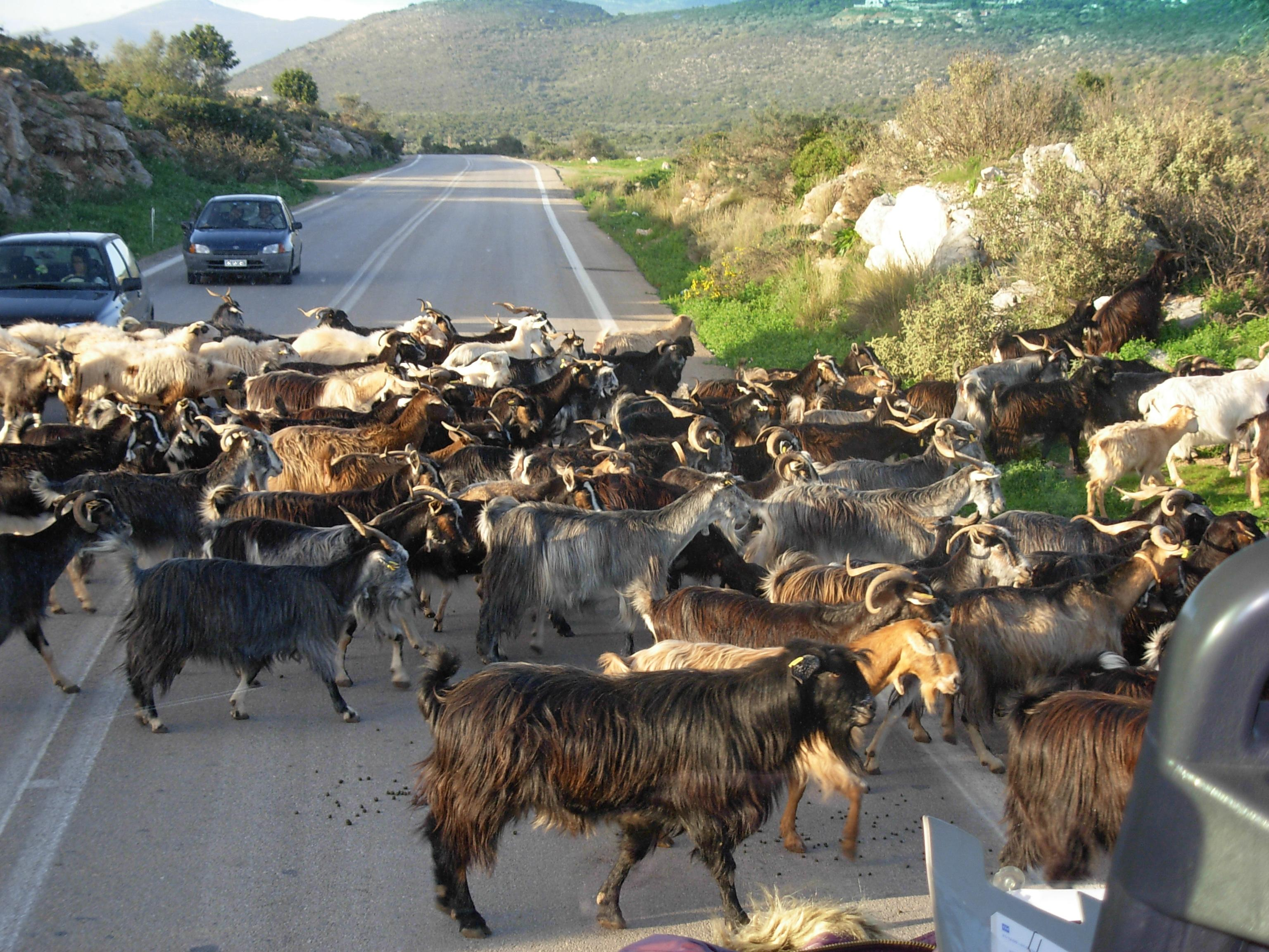peloponnese-goats
